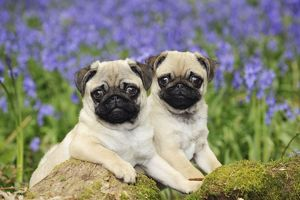JD-21637 DOG. Pug puppies standing together in bluebells