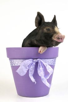 JD-21647 PIG. Berkshire piglet in plant pot