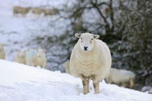 JD-21668 SHEEP. Texel ewes in snow