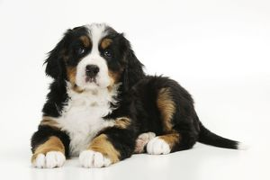 JD-21676 DOG. Bernese mountain puppy lying down