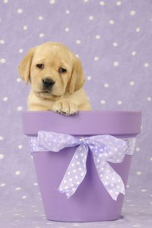 JD-21715 DOG. Yellow labrador puppy sitting in a plant pot