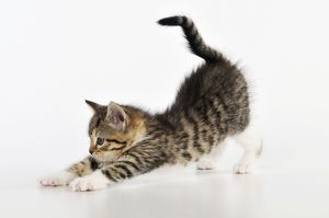 JD-21755 CAT. Kitten stretching