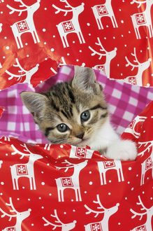JD-21765 CAT. Kitten looking through hole in christmas wrapping paper