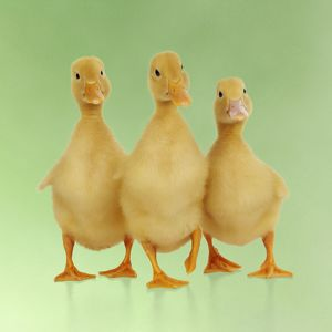 JD-21865-M-C DUCK. Three ducklings stood in a row