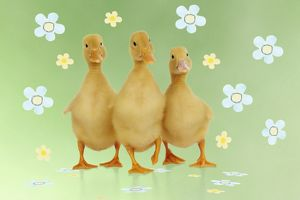 JD-21865-M1 DUCK. Three ducklings stood in a row