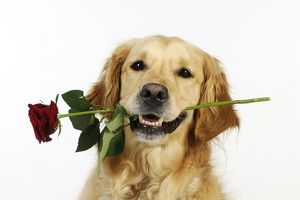JD-21878 DOG. Golden retriever holding rose (head shot)