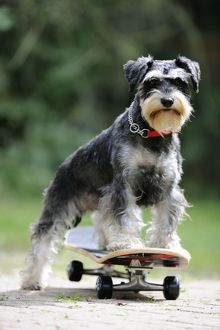 JD-21882 DOG. Schnauzer on skateboard