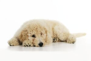 JD-22033 DOG Goldendoodle puppy laying down