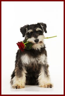 JD-22087-M DOG Schnauzer holding rose