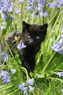 JD-22222 KITTEN. ( black ) in bluebells