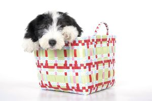 JD-22285 Dog. Bearded Collie puppy in basket