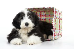 JD-22288 Dog. Bearded Collie puppy in basket