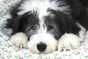 JD-22292 Dog. Bearded Collie puppy