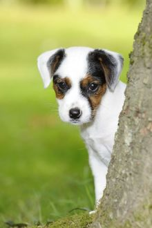 JD-22296-C DOG. Parson jack russell terrier puppy looking out from behind tree