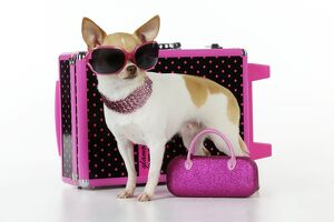 JD-22299 DOG. Chihuahua wearing sunglasses with girly props