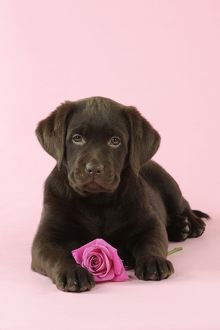 JD-22394 DOG. Chocolate Labrador puppy lying down with rose