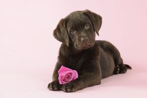 JD-22395 DOG. Chocolate Labrador puppy lying down with rose
