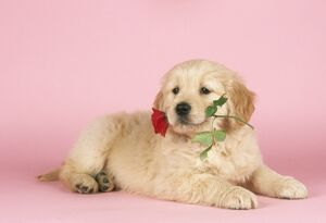 JD-7843E DOG - Golden Retriever puppy with rose