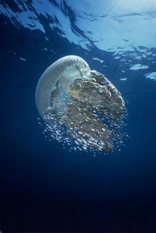 Jellyfish - Common Jellyfish and hundreds of small fish who seek protection beneath
