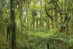 Kauri Forest - lush Kauri Forest with ferns and other plants as undergrowth