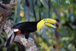 Keel-Billed / Sulphur-Breasted TOUCAN - calling