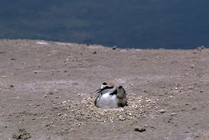 Kentish / Snowy PLOVER - male