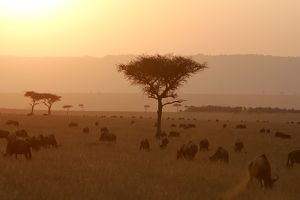 landscapes/kenya sunset maasai mara national park wildebeest