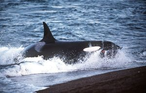 Killer Whale - feeding on Sealion near beach
