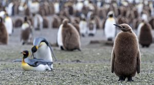 King Penguin chick at colony with mating pair in