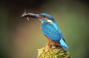 KINGFISHER - with fish in beak