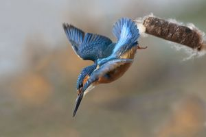 Kingfisher - in flight diving