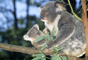Koala - adult with young