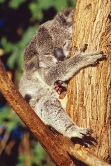 KOALA - asleep in tree.