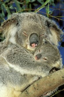 Koala - Female and young in tree