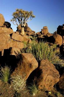 KOKERBOOM / Quiver / Aloe Tree and boulders - individual tree growing between weathered rocks in Giant's Playground
