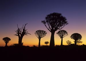 arty/kokerboom quiver aloe trees forest silhouettes