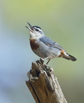 Kruper's Nuthatch - in Pine Tree calling