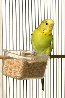 LA-5318 Budgerigar - in cage with seeds