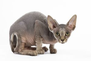 LA-5411 Cat - Sphinx kitten - 4 months old