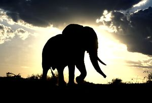 LA-5476 African Elephant - silhouetted against sunset.