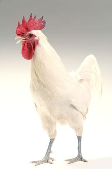 LA-5494 Chicken - Cockerel - white hybrid in studio
