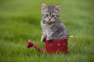 LA-5545 Cat - British Shorthair - 8 week old kitten sitting in watering can