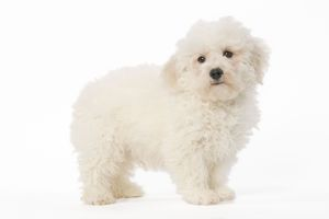 LA-5610 Dog - Bichon Frise - puppy in studio