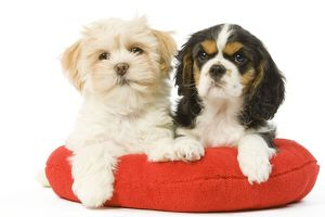 LA-5658 Dog - Lhasa Apso & Cavalier King Charles Spaniel - on heart cushion in studio
