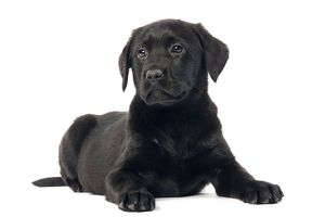 LA-5671 Dog - Black labrador puppy - in studio