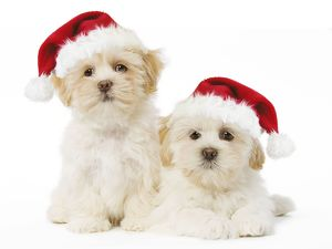 LA-5737-M1 Dog - Lhasa Apso puppies with Christmas hats