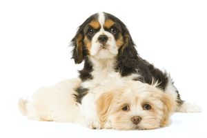 LA-5746 Dog - Lhasa Apso puppy with Cavalier King Charles puppy in studio