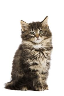 LA-5751 Cat - Norwegian Forest kitten in studio