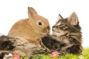 LA-5763 Cat - Norwegian Forest kitten in studio with Dwarf Rabbit and flowers