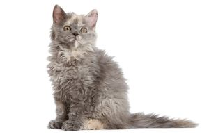 LA-5957 Cat - Selkirk Rex kitten in studio